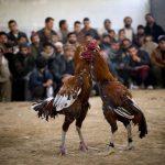 Menggunakan Aplikasi Untuk Judi Sabung Ayam S128